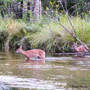 Fawns crossing river